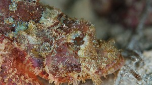 scorpionfishface