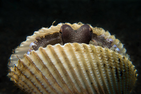 Siladen Octopus