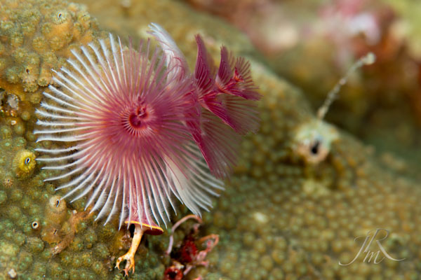 Christmas Tree Worms North Sulawesi Watersports Association